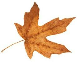 09-11 MAPLE LEAF